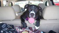 Přeprava psa v autě také podléhá pravidlům